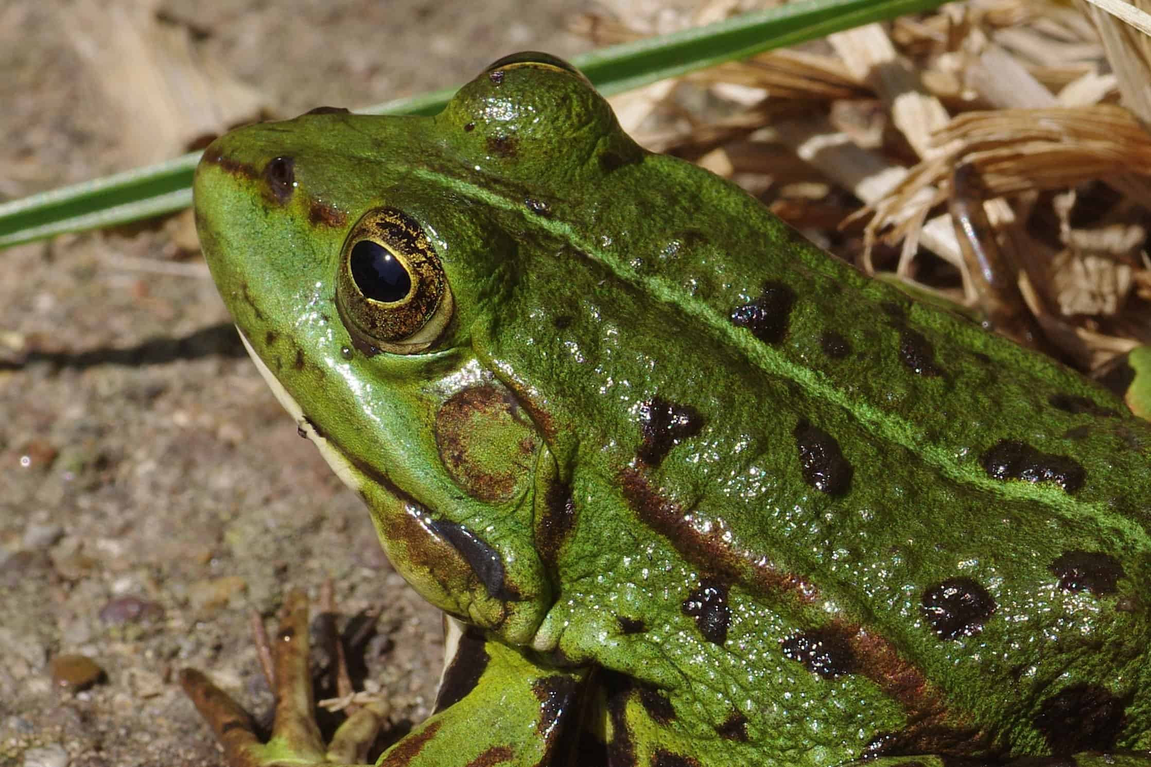 A Mouth With Legs - The Argentine Horned Frog