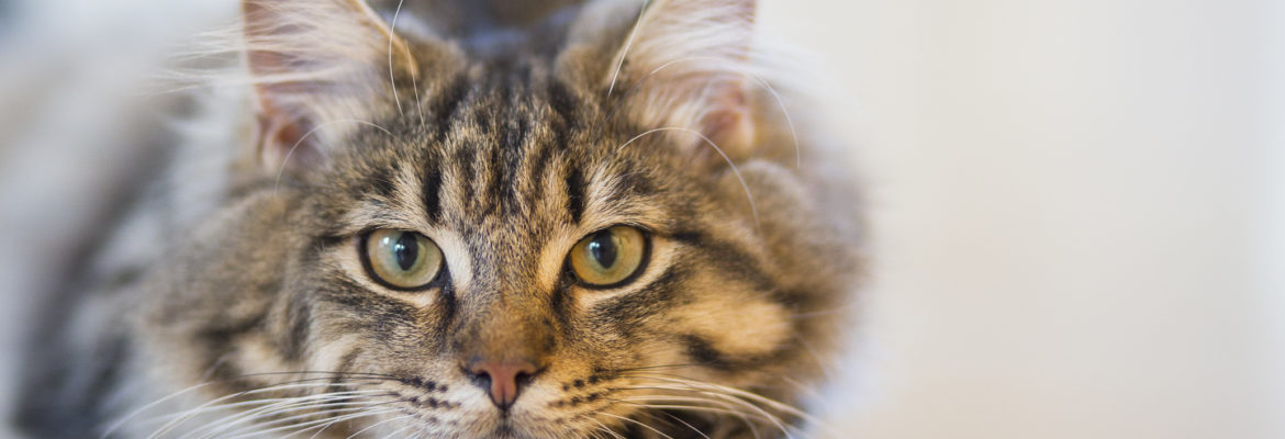 Add More to The Lives of Your Purring Pet With Nutritional Cat Food