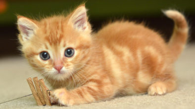 Cool Facts About Polydactyl Cats